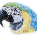 pappagallo ara ararauna