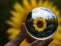 Il girasole attraverso la sfera