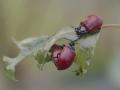 Tre Chrysomela populi